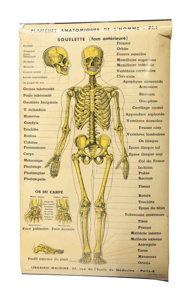 French Double Sided Human Skeleton Poster