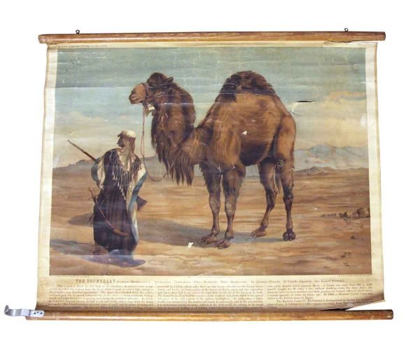 Posters - Imported Vintage Camel School Poster
