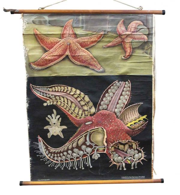 Posters - Imported Vintage Starfish School Poster