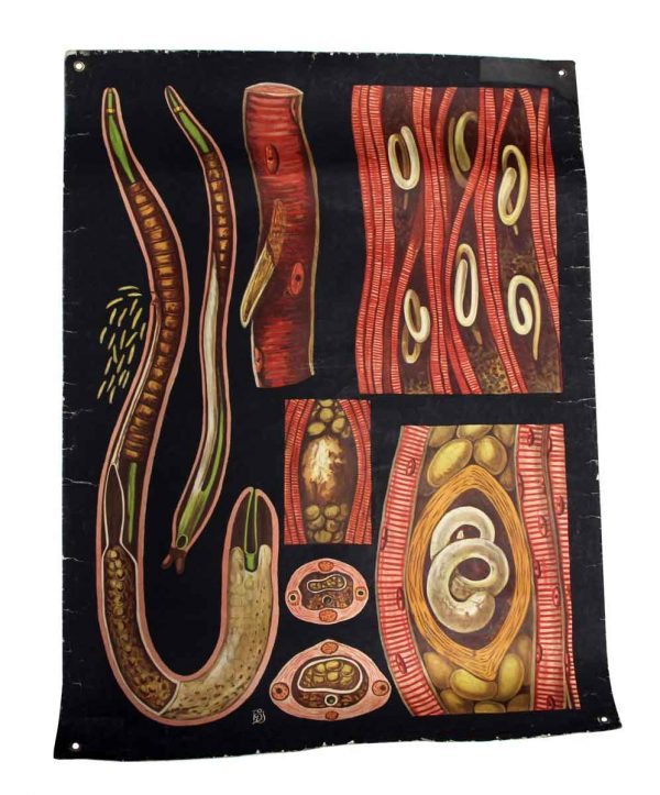 Posters - Vintage Worm Anatomy Imported School Poster