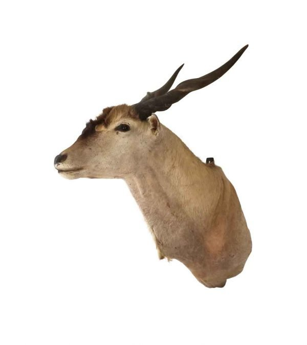 Taxidermy - Vintage Eland Wall Mount Taxidermy
